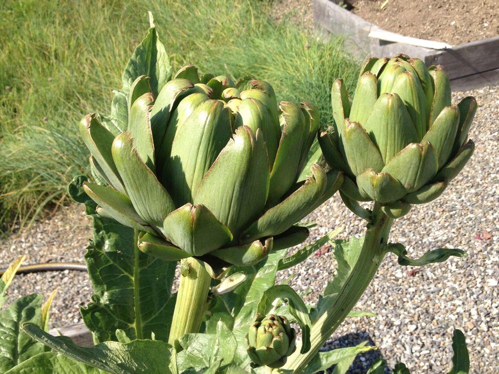 market-artichoke