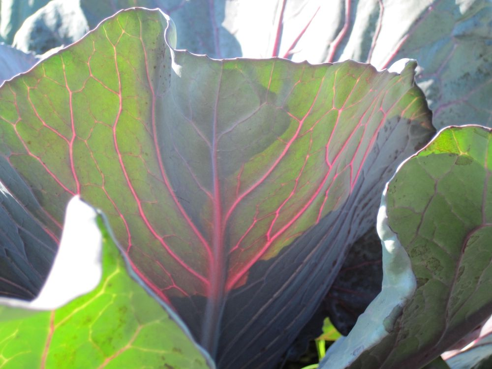market-cabbage-leaf