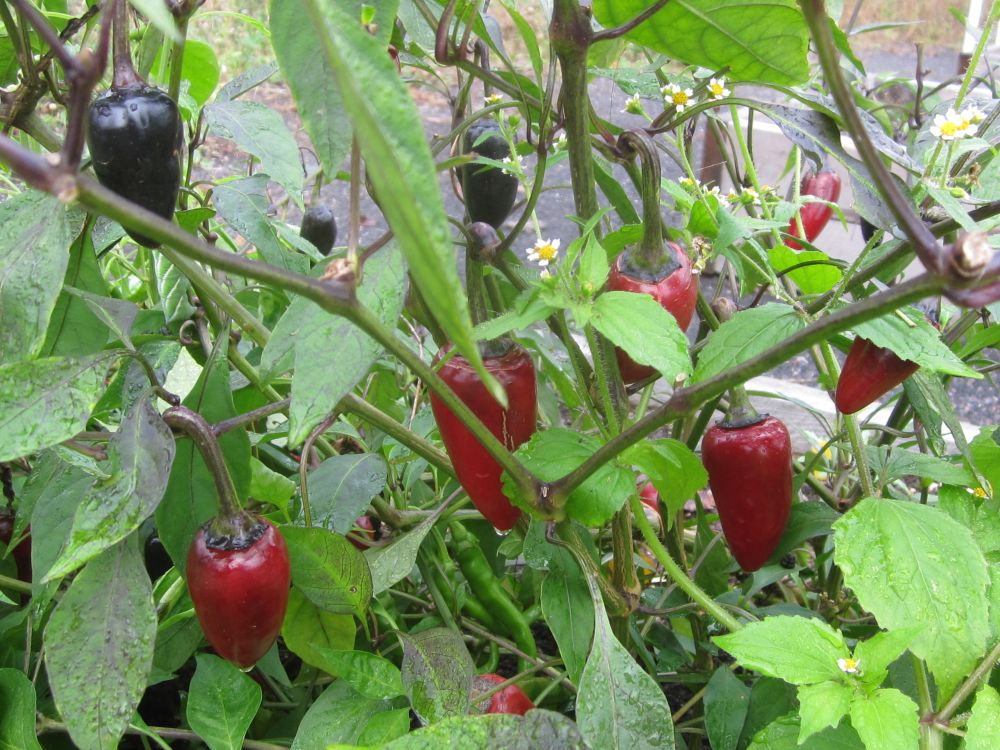 market-czech-black-peppers
