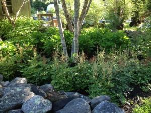 astilbe under birch