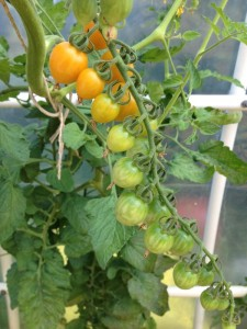 honeybunch tomatoes