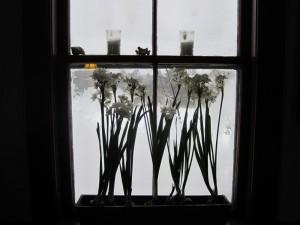 paperwhites in window