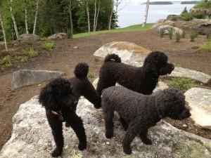 poodle supervisors