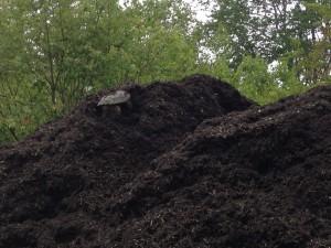 turtle on mulch